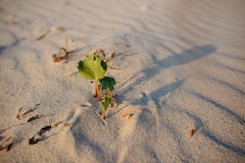 Green shoot in the desert - conceptual photo for growth in adverse conditions.  stock images