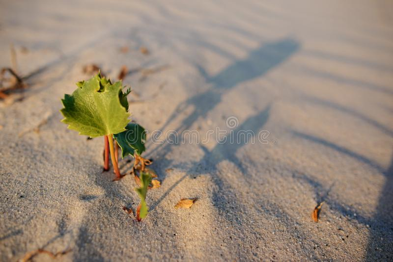 Green shoot in the desert - conceptual photo for growth in adverse conditions.  royalty free stock images