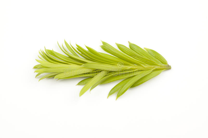 Download Green shoot of spruce tree stock image. Image of closeup - 14424033