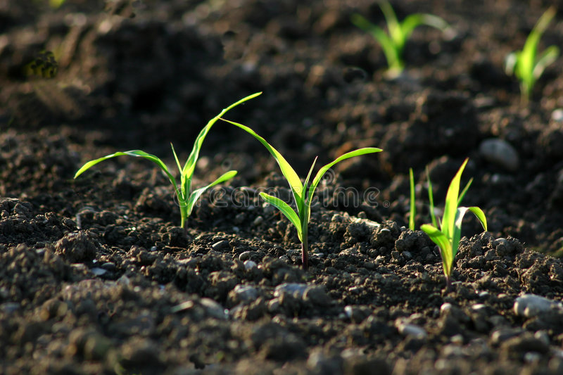 Green shoots in a field stock photo