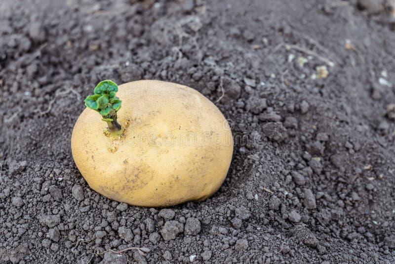 Green shoots of potato seed on the vegetable garden. Sprouted potato tuber. stock photos