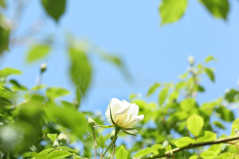 Green shrub with beautiful blooming rose in garden on sunny day. Spring flowers royalty free stock images