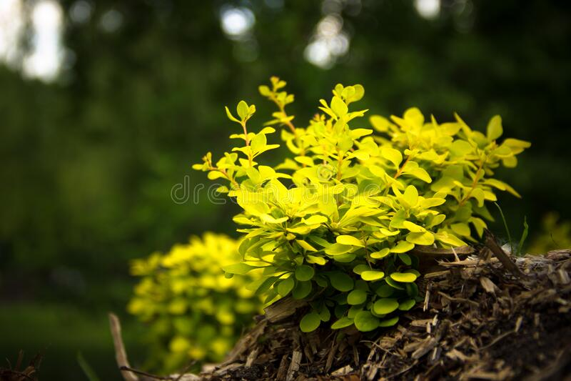 Green shrub royalty free stock photos