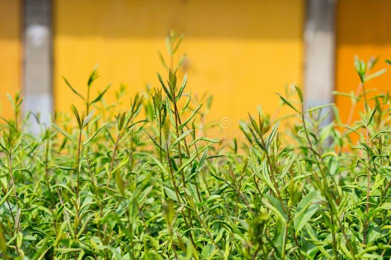 Green shrub. By garage door stock photo