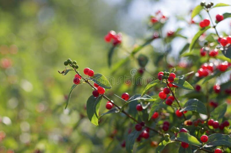 Red berries of honeysuckle with beautiful bokeh stock image