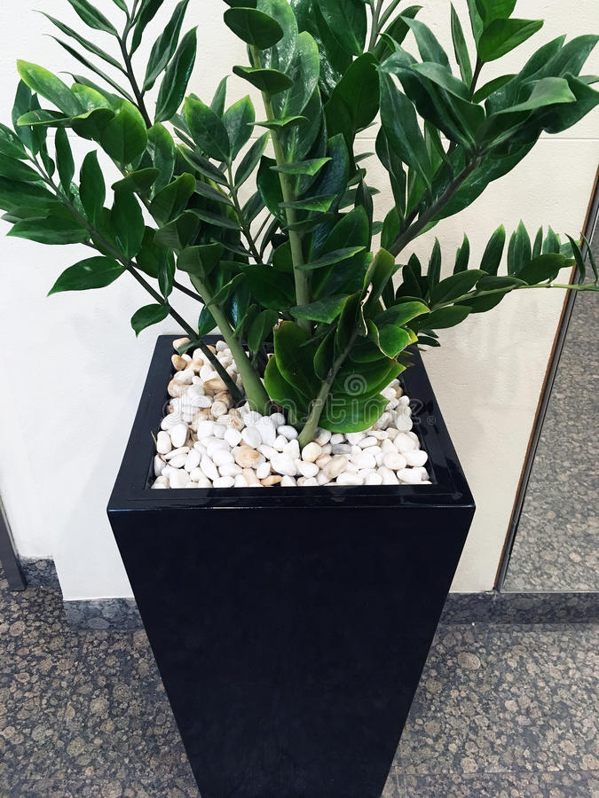 Green Shrub Pot Plant. A decorative leafy green pot plant shrub, in a tapered black pot, with many small white marble stones or pebbles., sitting on dark stock photos