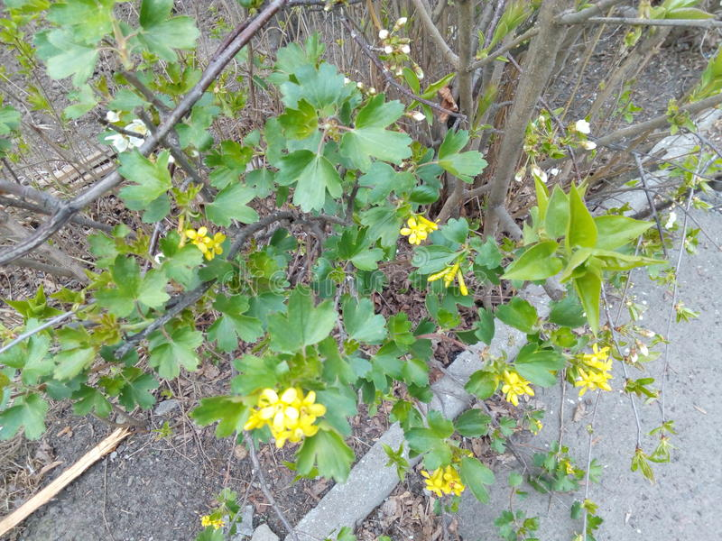 Green shrub with small yellow flowers royalty free stock photo