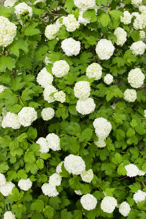 Green shrub with white flowers stock image
