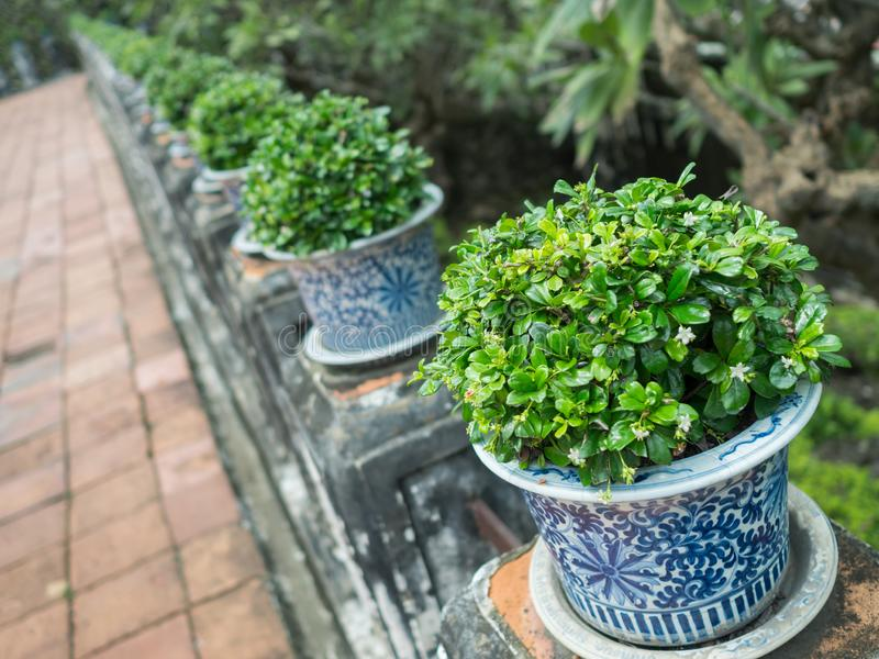 Green shrubs in Chinese porcelain,.Arranged in rows placed on poles with algae.Focus on the front bush. Green shrubs in Chinese pots,  blue and white porcelain royalty free stock images