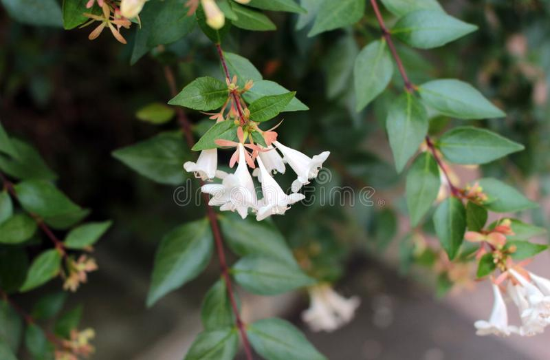 Green shrubs with small white flowers. stock image