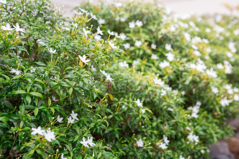 Green shrubs and small white flowers stock photography