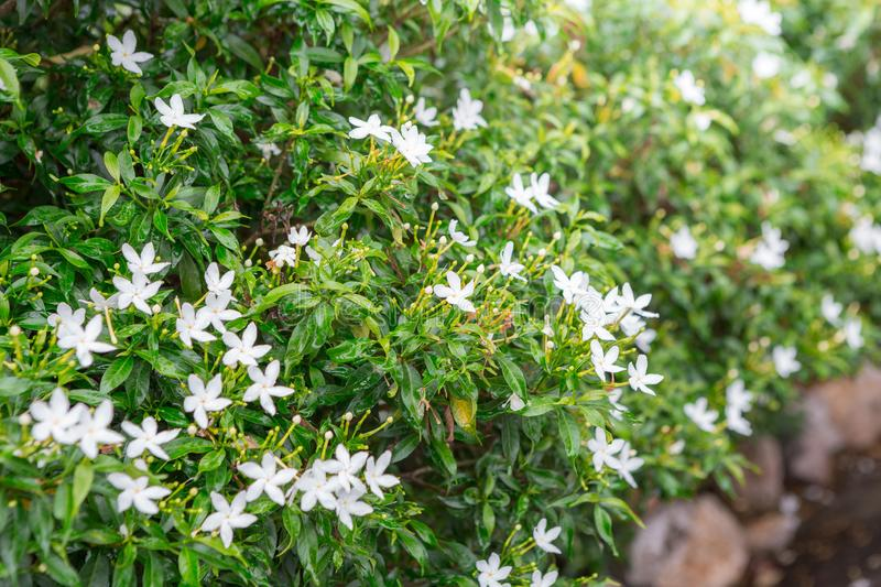 Green shrubs and small white flowers stock image