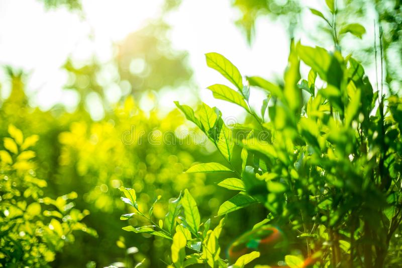 Green shrubs With sunlight  on background blurred royalty free stock photos
