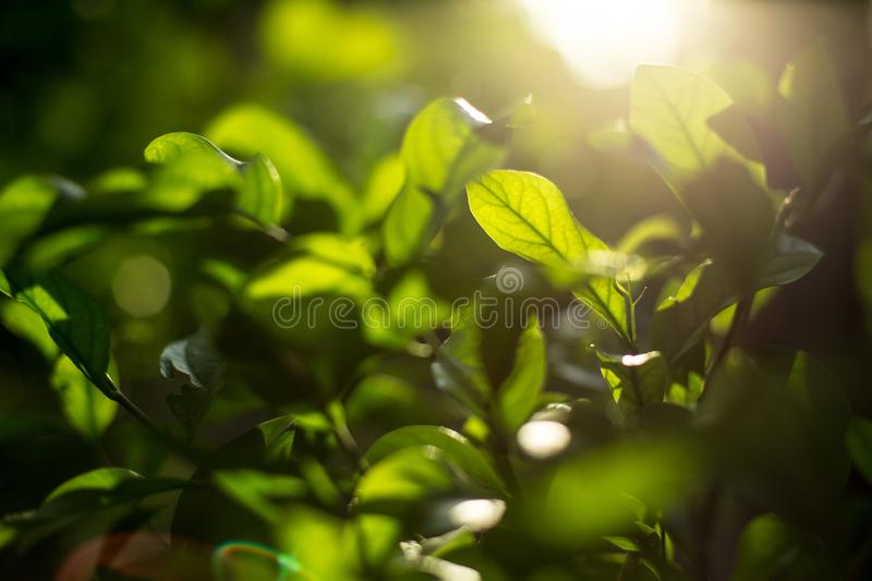 Green shrubs With sunlight on  background blurred royalty free stock images