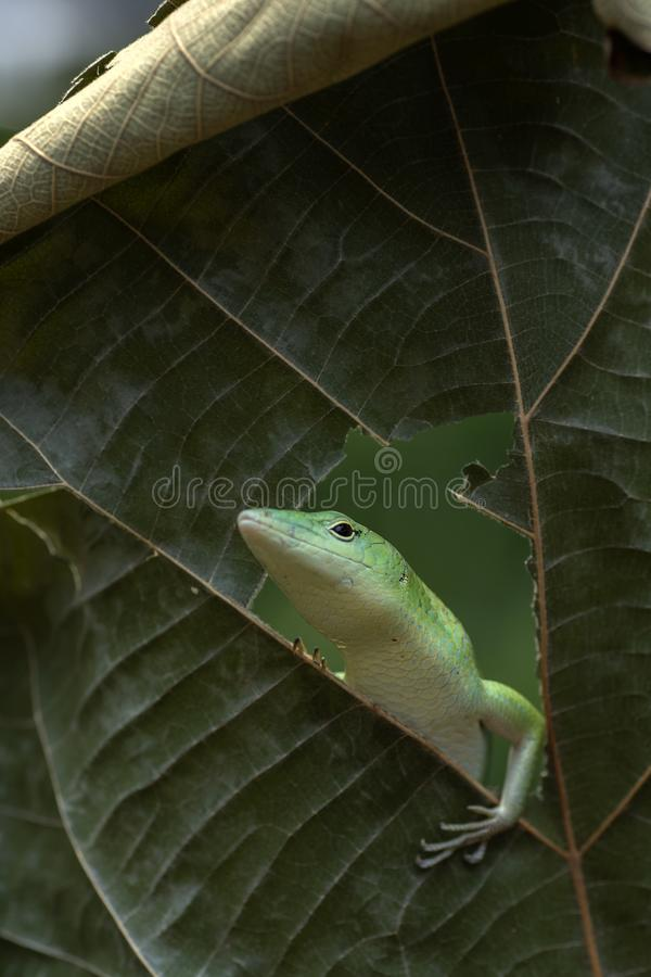Green skink lizard in a froest royalty free stock photography