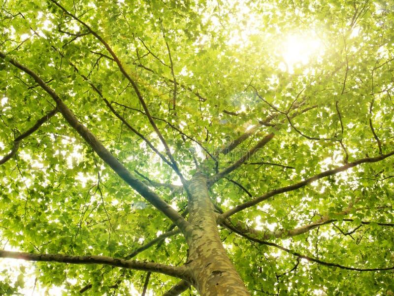 Green skogtrees Naturbakgrund med solljus i trädfol royaltyfri fotografi