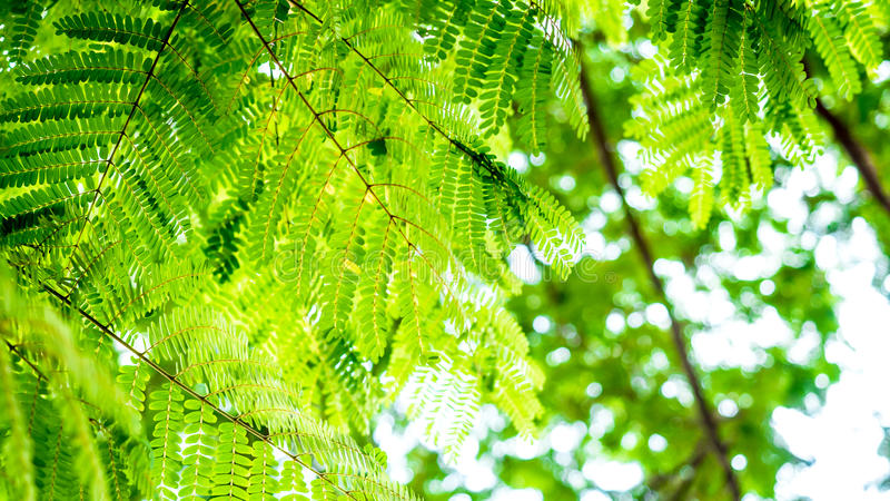 Green small group leave from tropical Forest name peltophorum pt stock images