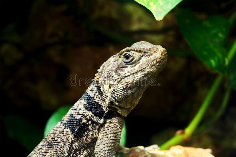 Green small lizard gecko close up royalty free stock photography