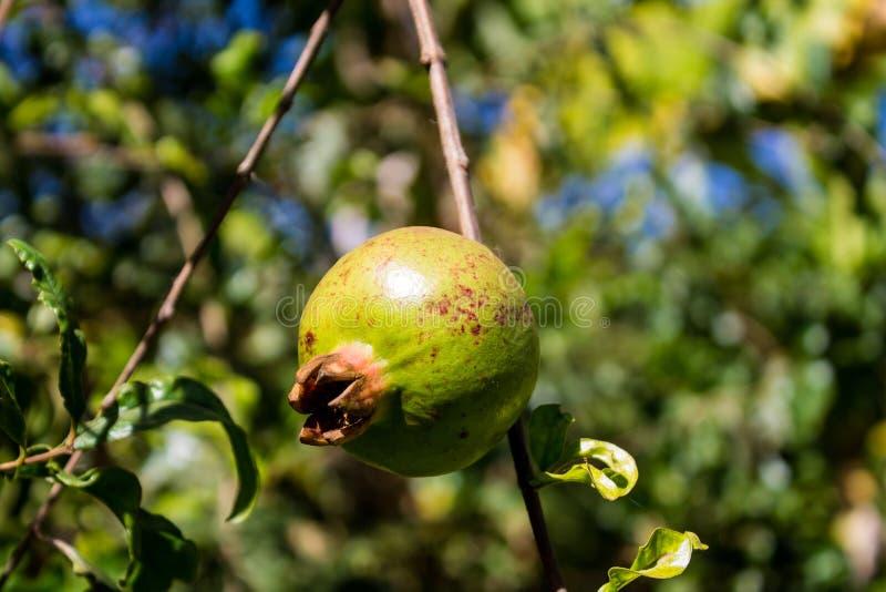 Green small pomegranate on tree stock photos