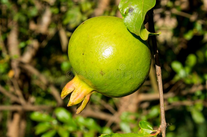 Green small pomegranate on tree royalty free stock images