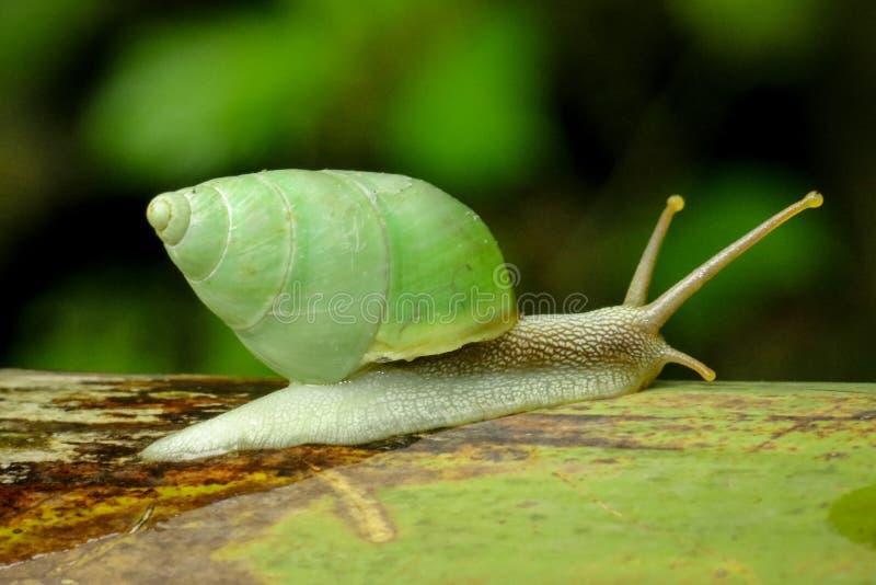 Green snail closeup with greenish shell stock photos