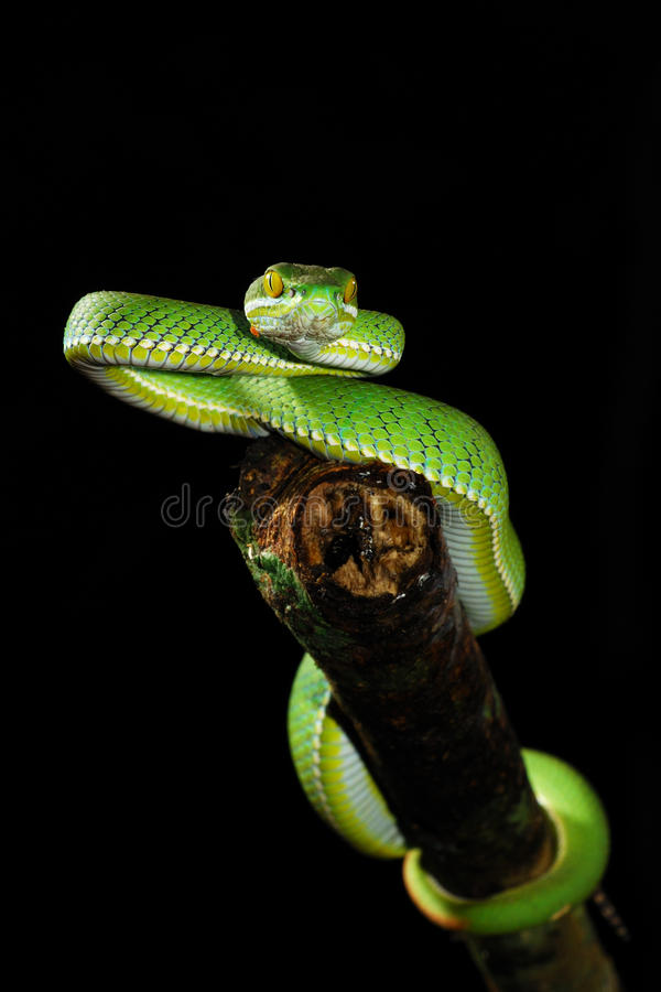 Free GREEN SNAKE Royalty Free Stock Images - 10407719
