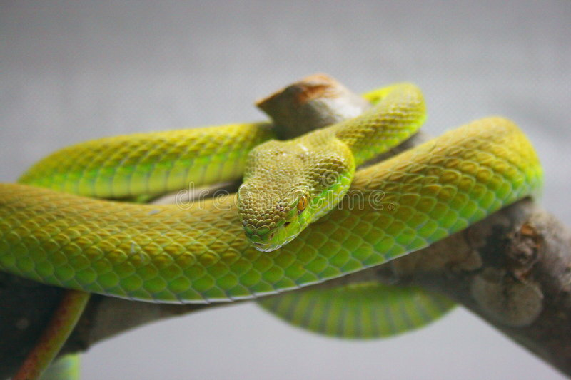 Green Snake On Branch Royalty Free Stock Photos