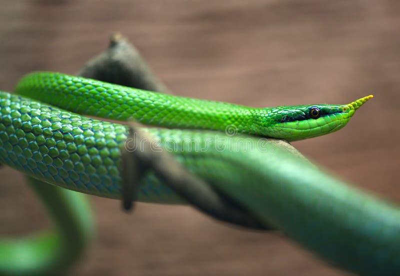 Download Green snake. stock image. Image of killer, beautiful - 34208571