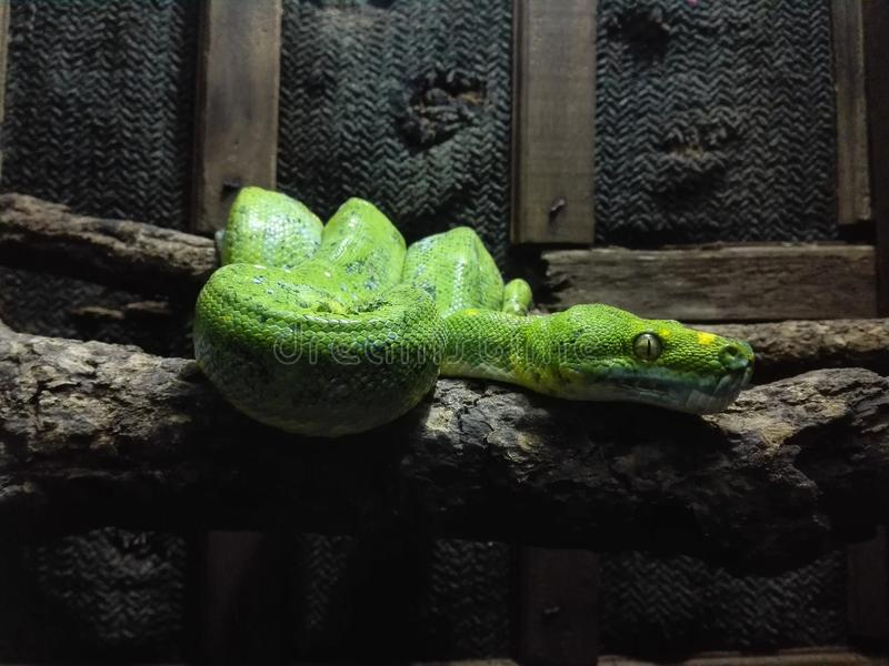 A Green Snake at Chiang Mai Zoo stock photo