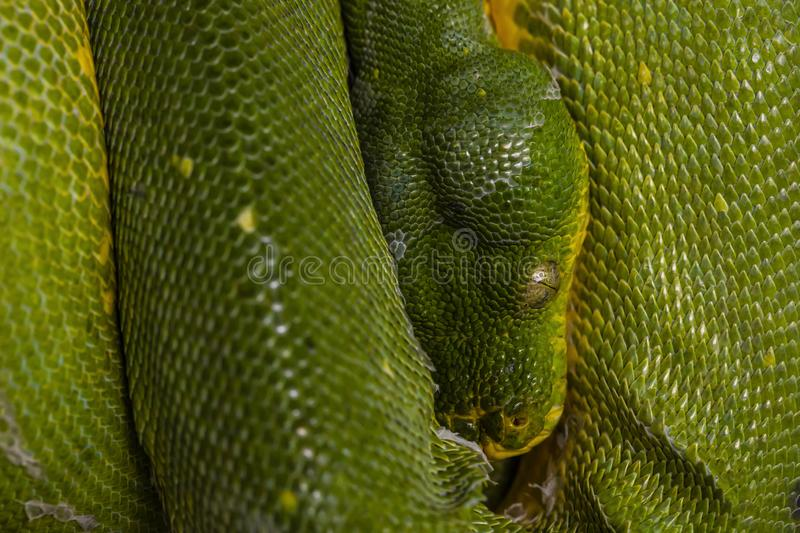 Green snake in close-up view to the eye stock image
