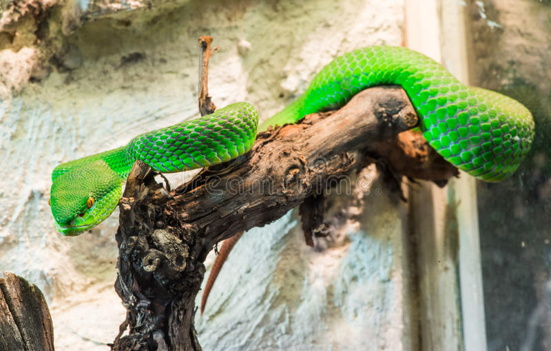 Download Green Snake Creeps On Tree Stock Photography - Image: 36669732