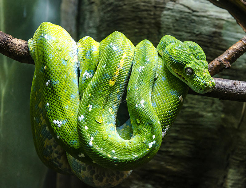Green snake. Curled on a tree branch stock photography