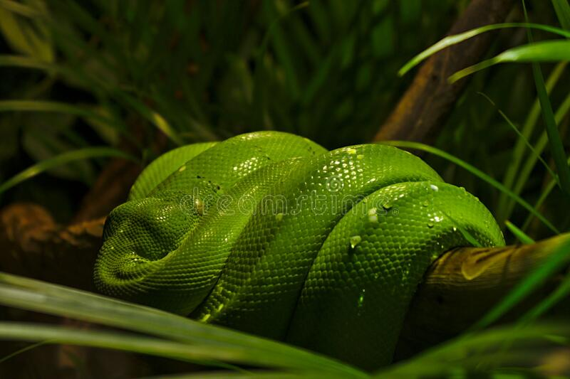 Green snake at Sealife in Melbourne. Green snake curled up on a branch at Sealife in Melbourne stock photography