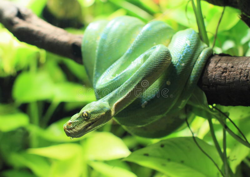 Green snake. Hanging on a branch stock photos