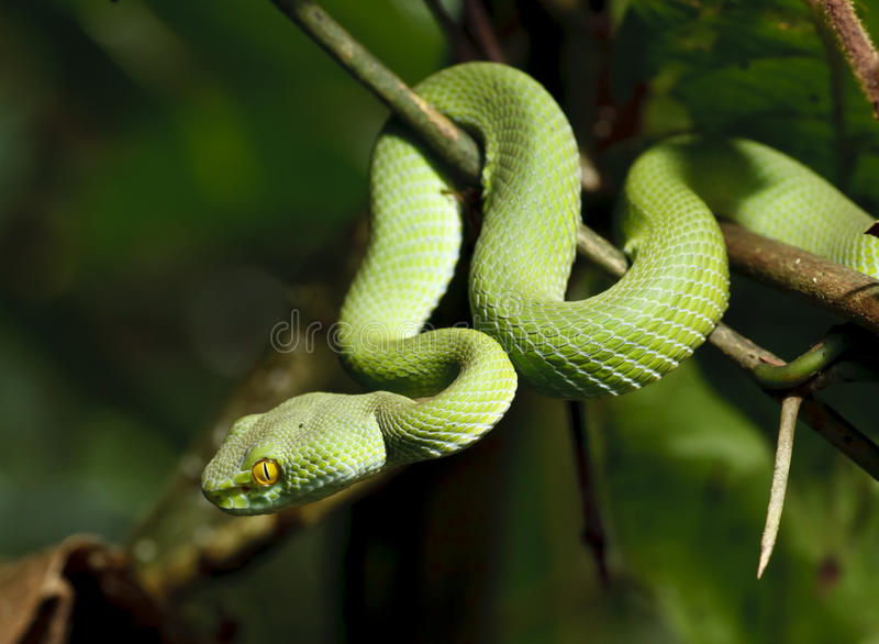 Green snake in rain forest stock photography