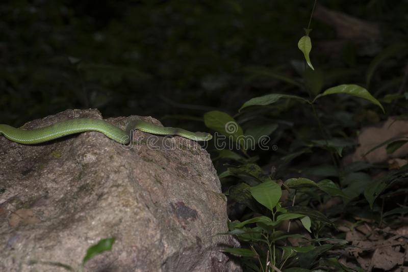 Green snake in rain forest. Snake green pit viper in forest onThailand royalty free stock image