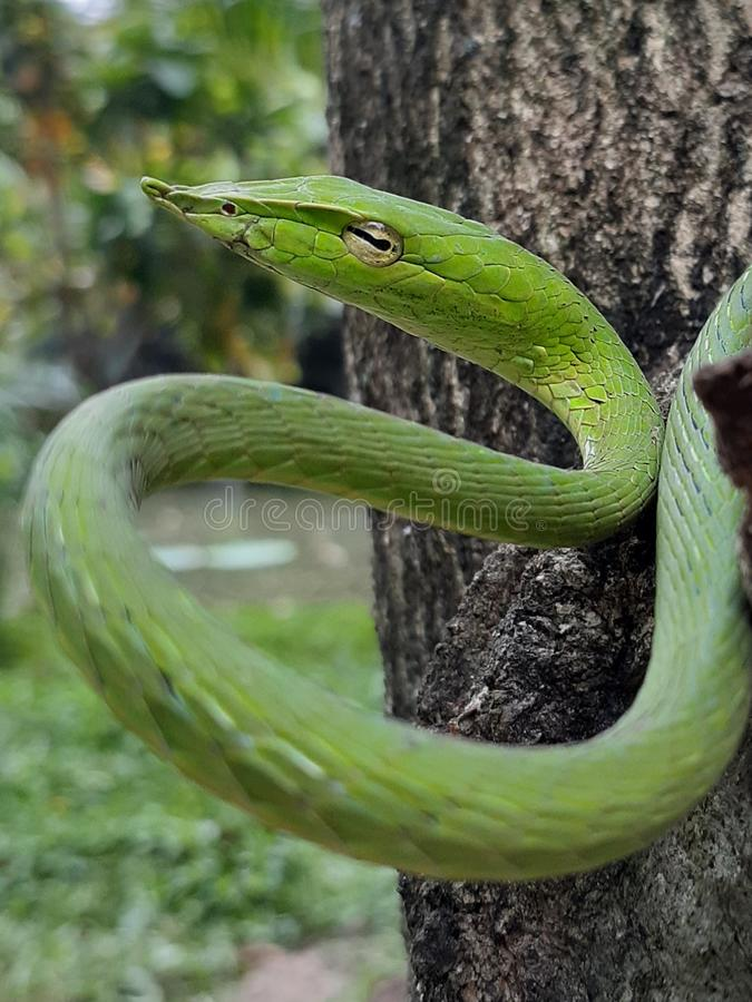 Green snake on tree royalty free stock photography