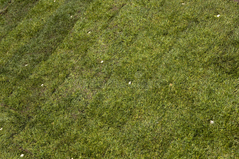 Green sod grass. Newly installed or planted green grass or sod royalty free stock photo