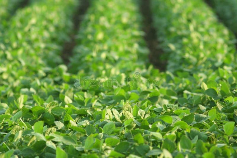Green soybeans, summer stock photos