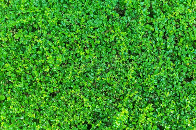 Green Space of Bush Abstract Nature Background. Summer Natural Shape stock images