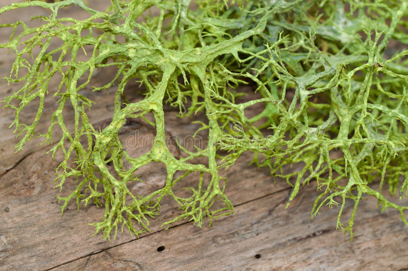 Download Green Spanish Moss On A Wooden Substrate Stock Images - Image: 23312664