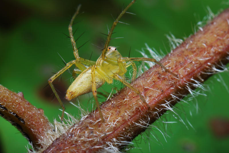 Download Green Spider stock photo. Image of danger, jump, lynx - 14152752