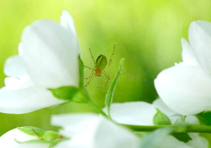 Green Spider on Jasmine Flowers stock images