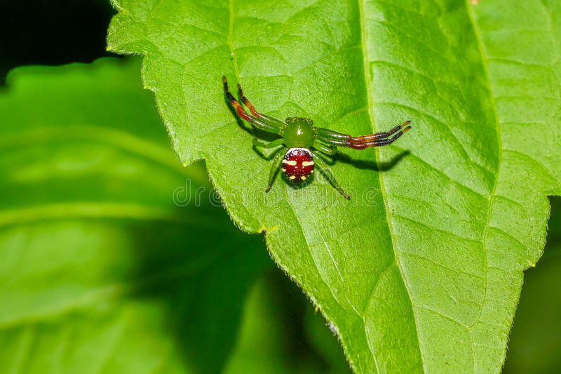Green spider on leaf. In national park of Thailand stock image
