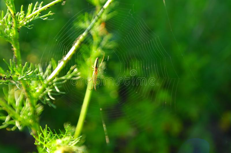 Green spider on the web. Green spider web, filmed on a Sunny summer day in the grass royalty free stock photos