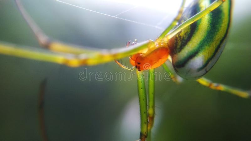 GREEN SPIDER. With yellow stripes, silent patiently waiting for its prey royalty free stock photo