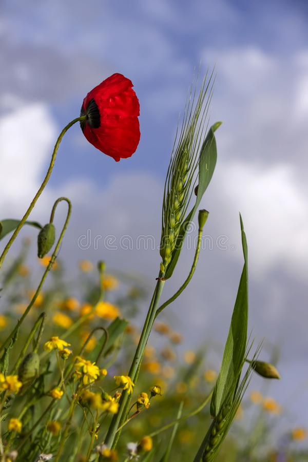 Green spikelet of wheat, flower and buds of red poppies on a background of yellow flowers and a blue sky with clouds. Green spikelet of wheat, flower and buds of stock photo