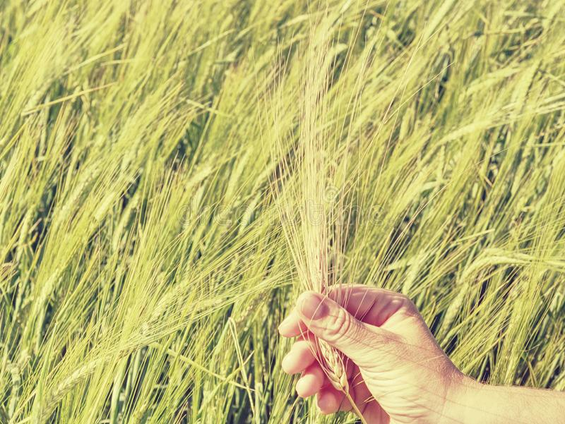 Green spikelets of barley in a mans hand, harvesting, cultivation stock image