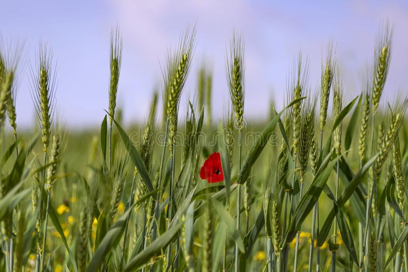 Green spikelets of wheat with a red poppy flower between them on a blurred background of a field with yellow flowers stock photography