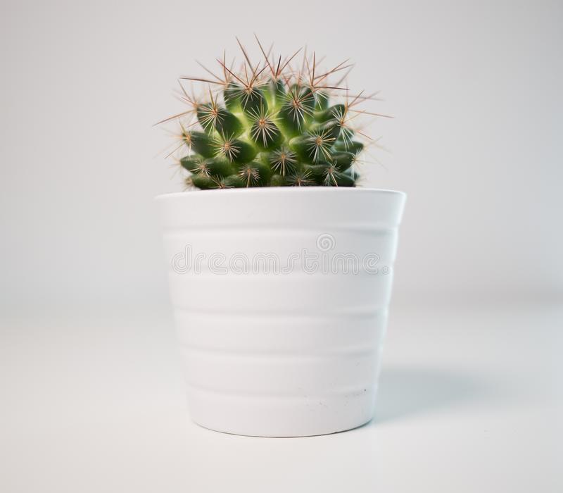 Green spiky cactus plant in a white pot on a white background royalty free stock photo